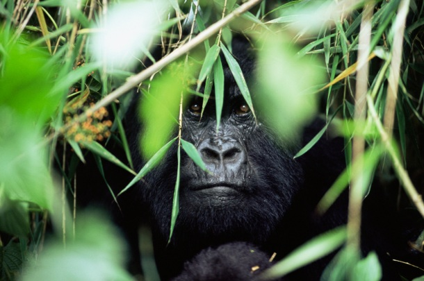 http://heroku-petition.s3.amazonaws.com/wwf-petitions/GorilleVirunga.jpg